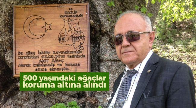 İskilip'te devasa ağaçlar koruma altına alındı